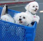 Poodles in cart